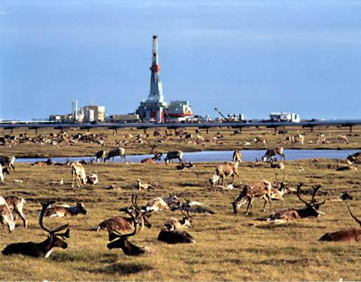 Caribou at Prudhoe Bay