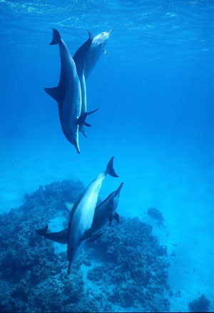 Dolphins swim in the Red Sea, south of Jeddah, in Saudi Arabia